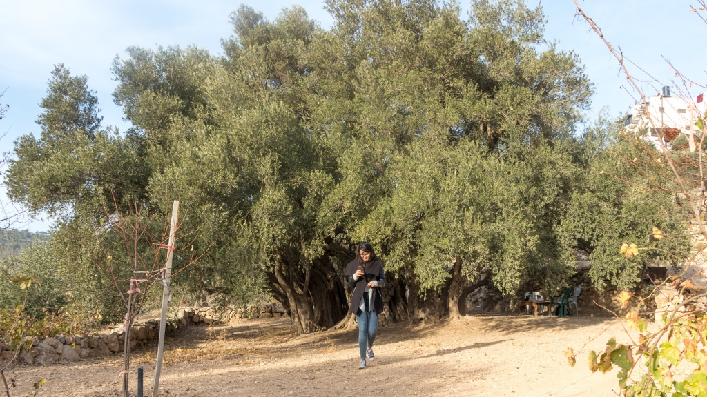 A visitor walks away from the al-Badawi Tree - by Stephanie Saldaña